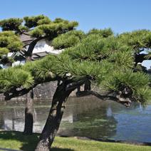 Zdj. nr 40;Pinus thunbergii