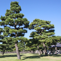 Zdj. nr 41;Pinus thunbergii