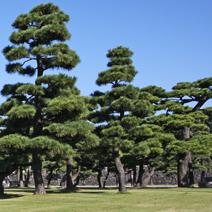 Zdj. nr 42;Pinus thunbergii