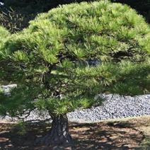Zdj. nr 45;Pinus thunbergii