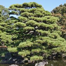 Zdj. nr 46;Pinus thunbergii