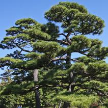 Zdj. nr 47;Pinus thunbergii