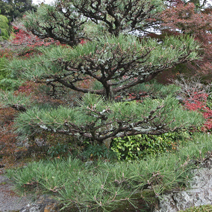 Zdj. nr 31;Pinus thunbergii