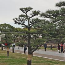 Zdj. nr 32;Pinus thunbergii
