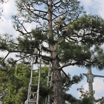 Zdj. nr 34;Pinus thunbergii