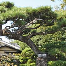 Zdj. nr 35;Pinus thunbergii