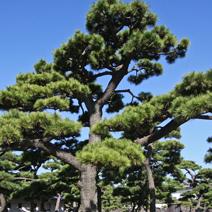 Zdj. nr 37;Pinus thunbergii