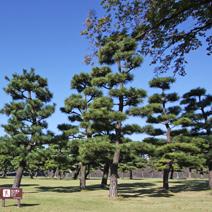 Zdj. nr 38;Pinus thunbergii