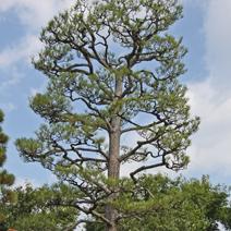 Zdj. nr 30;Pinus thunbergii