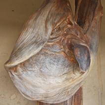 Zdj. nr 152;Naturalna forma zniekształconego drzewa