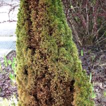 Zdj. nr 21;Picea glauca 'Zuckerhut' - silnie porażony przez oparzeliny słoneczno-mrozowe i Botrytis cinerea.