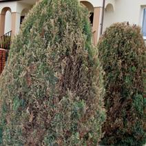 Zdj. nr 13;Juniperus chinensis 'Stricta' - uszkodzenia przez mróz i Botrytis cinerea.